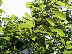 ja.wikipedia.org wiki 250px-HK_ChineseHackberry_Leaves  (1).jpg